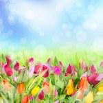Постер, плакат: Spring tulips