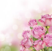 Rosa rosen — Stockfoto