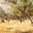 Olive tree orchard — Stock Photo