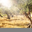 Olive tree orchard — Stock Photo #31839751