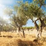 Постер, плакат: Olive tree orchard
