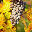 Wine grapes — Stock Photo #33822313