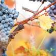 Wine grapes — Stock Photo #33920375
