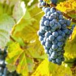Wine grapes — Stock Photo #33921493