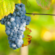 Wine grapes — Stock Photo #33923791