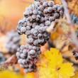 Wine grapes — Stock Photo #33926553