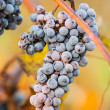 Wine grapes — Stock Photo #33926949