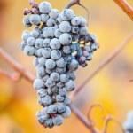 Wine grapes — Stock Photo #33927195