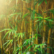 Bamboo trees — Stock Photo