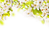 Apple tree blossoms — Stock Photo
