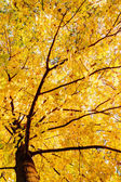 Beautiful autumn tree with fallen dry leaves — Stock Photo