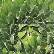 Agave plant — Stock Photo #12057768
