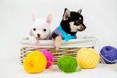 Small purebred puppies — 图库照片