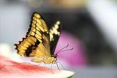 Levande fjäril närbild — Foto Stock