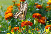 Butterfly on Marigold — Stock Photo