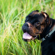 Royalty-Free Stock Photo: cane corso