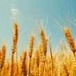 Wheat field against a blue sky - Foto Stock