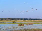 Migratory birds. — Stock Photo