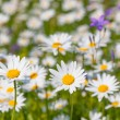 Daisies. — Stock Photo