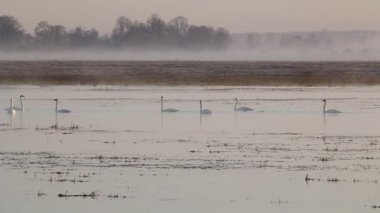 Swans in the mist. — Stock Video