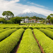 Green Tea Field With Mt Fuji - Foto Stock