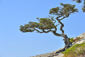 Crimean pine — Stock Photo