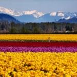 Yellow Red Purple Tulips Flowers Snow Mountains Skagit Valley Wa — Stock Photo #11401363