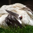 Red Crowned Crane Pruning White Feathers Grus Japonensis - Stock Photo