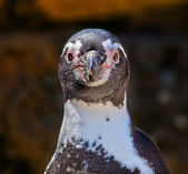 Humboldt Penguin Speniscus Humbolti Face Looking at You — Stock Photo