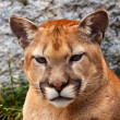 Mountain Lion Closeup Head Cougar Looking at You Puma Concolor — Stock Photo #12408096