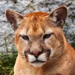 Mountain Lion Closeup Head Cougar Looking at You Puma Concolor — Stock Photo