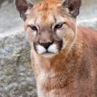 Mountain Lion Cougar Puma Concolor Looking — Stock Photo