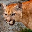 Mountain Lion Closeup Head Cougar Kitten Puma Concolor — Stock Photo #12408124