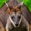 wallaby macropus agilus — Stock Photo