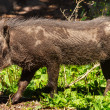 Stock Photo: Female Warthog Phacochoerus africanus