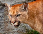 Mountain Lion Closeup Head Cougar Kitten Puma Concolor — Stock Photo