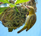 Weaver Bird Ploceidae on Nest Working — Stock Photo