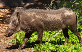Female Warthog Phacochoerus africanus — Stock Photo