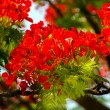 Red Flame Tree Delonix Regia Hong Kong — Stock Photo