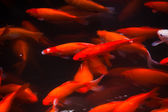 Golden Carp Swimming West Lake Hangzhou Zhejiang China — Stock Photo