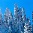 Snow Covered Evergreen Trees Abstract at Snoqualme Pass Washingt - Stok fotoraf