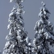 Snow Covered Evergreen Trees Abstract at Snoqualme Pass Washingt — Stock Photo