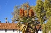 Giant Tree Aloe Barberae White Adobe Mission Santa Barbara Calif — Stock Photo