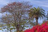 Red Coral Tree Palms Tree Bougainvillea Santa Barbara California — Stock Photo