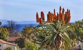 Giant Tree Aloe Barberae Pacific Ocean Mission Santa Barbara Cal — Stock Photo
