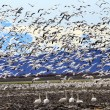 Lift Off Hunderds of Snow Geese Taking Off Flying Trumpet Swans — Stock Photo