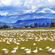 Snow Geese Mountains Skagit Valley Washington — Stock Photo #41268899