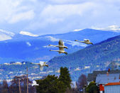 Trumpeter Swans Cygnus buccinator Flying Snow Mountains Skagit V — Stock Photo