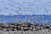 Lift Off Hunderds of Snow Geese Taking Off Flying — Stock Photo