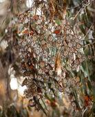 Monarch Butterflies Migration Eilwood Mesa  Grove Goleta Califor — Stock Photo